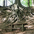 Rotten wooden benches surrounded with leaf-litter, and clinging roots of a tree behind it - Börzsöny Mountains, Maďarsko