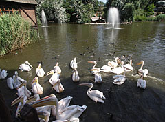 The pelican feeding is a crowd scene - Budapeşte, Macaristan
