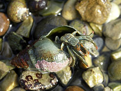 Hermit-crab in a snail shell, almost every shell is occupied by a crab - Slano, Hırvatistan