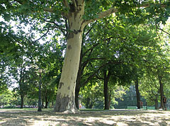 Planes and other trees in the park, at the boating lake - Budapest, Hungría