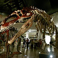 Came from South America, 14-meter-long, weighing 8 tons, its head is 2 meters long: it is the giant Giganotosaurus carolinii dinosaur - Budapest, Ungheria
