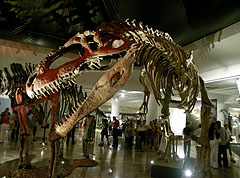 Came from South America, 14-meter-long, weighing 8 tons, its head is 2 meters long: it is the giant Giganotosaurus carolinii dinosaur - Budapest, Hongrie