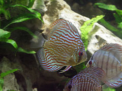 Blue discus (Symphysodon aequifasciatus) fish - Budapeszt, Węgry