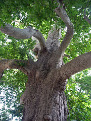 One of the enormous, more than 400 years old oriental plane trees (Platanus orientalis) at the entrance of the arboretum - Trsteno, Chorwacja