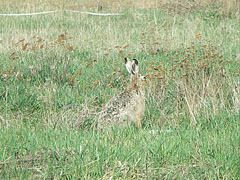 European hare or Brown hare, Eastern jackrabbit (Lepus europaeus) - Mogyoród, Унгария