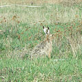 European hare or Brown hare, Eastern jackrabbit (Lepus europaeus) - Mogyoród, Венгрия