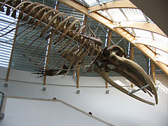 Suspended whale skeleton in the atrium (lobby) - Budapest, Ungarn