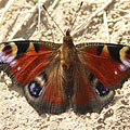 European peacock (Inachis io), a beautiful butterfly that spread all over Europe - Mogyoród, Ungarn