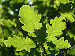 The fresh green leaves of the oak tree that stands on the mountaintop - Dobogókő, Hongarije