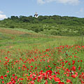 Red poppy-flood at the end of May - Mogyoród, Hongarije