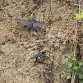 A barn swallow (Hirundo rustica) couple is collecting mud from the collapsed river wall for creating their nest - Komlóska, Ungarn
