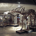 Amargasaurus cazaui, a member of the sauropod dinosaurs, although it is smaller than its relatives, it is even more interesting - Budapest, Ungern
