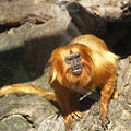 Golden lion tamarin or golden marmoset (Leontopithecus rosalia), a small New World monkey from Brazil - Budapest, Ungern