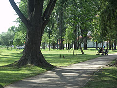 Shady walkway in the City Park of Ajka with a thick-trunked tree - Ajka, Hungary