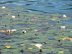 White water lillies in Lake Bled - Bled, Slovenia
