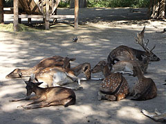 Fallow deers (Dama dama) rest in the shade of the trees - Budapest, Hungary