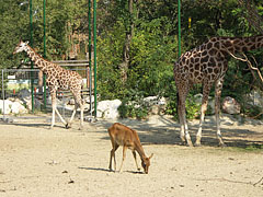 A female Nile lechwe antelope (Kobus megaceros) is dwarfed by two Rothschild's giraffes (Giraffa camelopardalis rothschildi) behind her - Budapest, Hungary