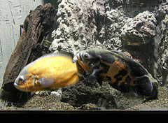 Oscar fish or or marble cichlid (Astronotus ocellatus) - Budapest, Hungary