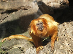 Golden lion tamarin or golden marmoset (Leontopithecus rosalia), a small New World monkey from Brazil - Budapest, Hungary