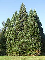 Group of some evergreen trees (maybe sequoia trees) - Gödöllő, Hungary
