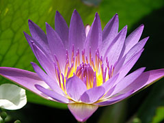 A purple or violet colored water lily (Nymphaea) flower in Lake Hévíz - Hévíz, Hungary