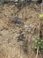 A barn swallow (Hirundo rustica) couple is collecting mud from the collapsed river wall for creating their nest - Komlóska, Hungary
