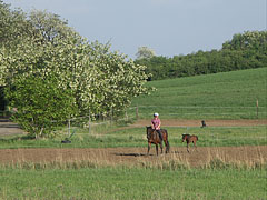 The colt is following his mother everywhere - Mogyoród, Hungary