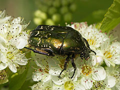 Green rose chafer (Cetonia aurata) beetle - Mogyoród, Hungary