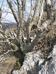 "A tree is clinging to a limestone rock at Fekete-kő (""Black Rock"") - Pilis Mountains (Pilis hegység), Hungary"