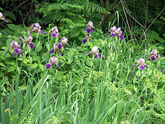 Escaped German iris (Iris germanica) flowers in the meadow - Plitvice Lakes National Park, Croatia