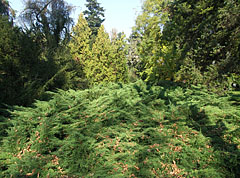 Evergreen thuja bush - Szarvas, Hungary