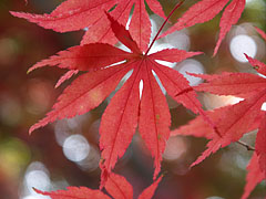 Red autum leaf of a Smooth Japanese Maple (Acer palmatum) tree - Szarvas, Hungary