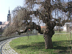 Crooked tree in the castle garden - Szécsény, Hungary