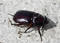 European rhinoceros beetle (Oryctes nasicornis), a large dark reddish brown beetle on the rock - Trsteno, Croatia