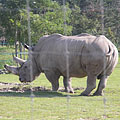 Southern white rhinoceros or square-lipped rhinoceros (Ceratotherium simum simum) in the African Savannah enclosure - Veszprém, Hungary