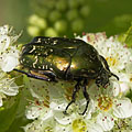 Green rose chafer (Cetonia aurata) beetle - Mogyoród, ハンガリー