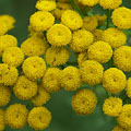 Common tansy (Tanacetum vulgare or Chrysanthemum vulgare), its yellow flowers virtually don't have petals - Rábaszentandrás, ハンガリー