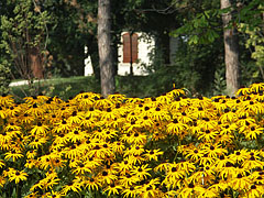 Mass of yellow coneflowers (Rudbeckia) - Gödöllő, 헝가리