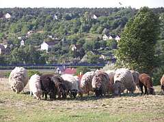 Grazing Hungarian racka and other sheep on the hillside - Mogyoród, 헝가리